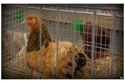 Influenza aviaire hautement pathogène H5N8 : passage en risque élevé sur l'ensemble du territoire métropolitain