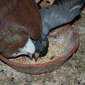 Le repas du petit pigeon à coup d'aile - Ichat et compagnie