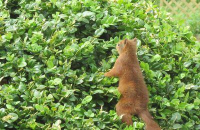 Le garde-manger de l'écureuil dans le buis patatoïde ( Med resumé på dansk til slut)