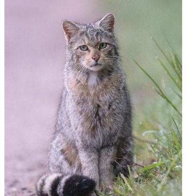 Animal 2020 : le chat sauvage