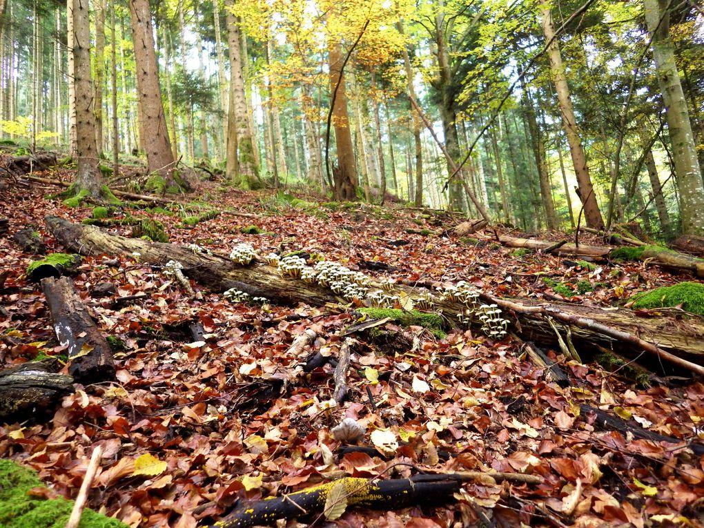 Sortie mycologique / Alsace / Haut-Rhin / Octobre 2016