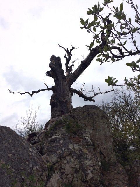 Retour vers Thann par le Rangen, le chêne Wotan, sous la Croix du Rangen