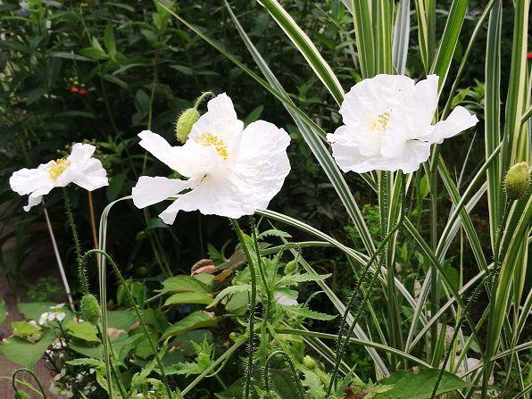 Des coquelicots blancs pour attendrir le jardin