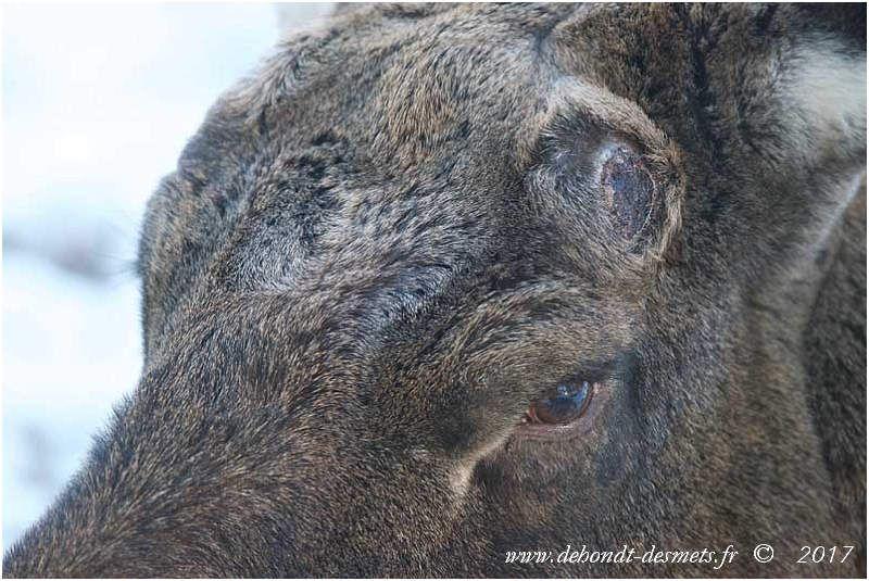 L'élan mâle perd ses bois en décembre. La cicatrisation de la plaie permet la régénération du bois suivant, à partir des cellules souches du pivot