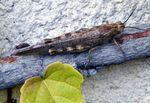 CRIQUET ÉGYPTIEN - (Anacridium aegyptium) , un solitaire qui hiverne.- divers criquets et sauterelles. -