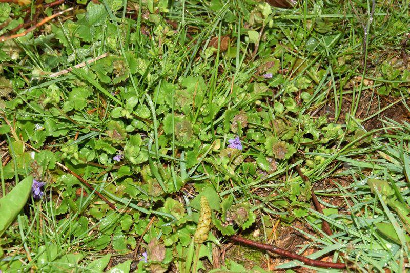 """Le lierre terrestre commence aussi à être bien connu par les amateurs de plants """"sauvages"""" comestibles. Il pousse absolument partout et présente d'avantage d'avoir de très jolies petites fleurs bleues."""