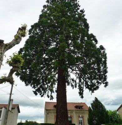 Séquoia de St Marcellin en Forez
