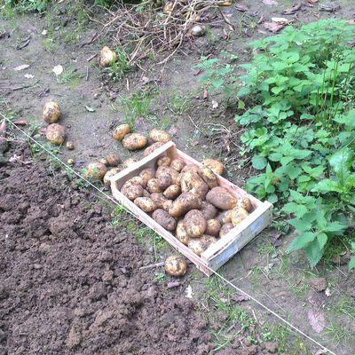 Les pommes de terre et le jardinier ...