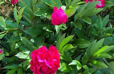 """""""La rose est sans pourquoi..."""" (Silesius)"""