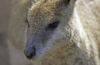 Aussie style... Marsupiaux : le Wallaby