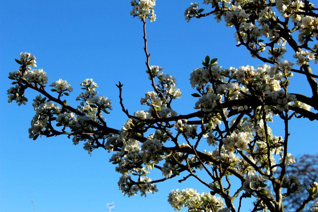 Fête du blanc chez nos arbustes,