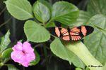 Papillon exotique noir et orange à identifier