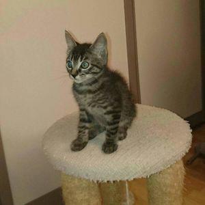 Mercedès, chaton femelle tigrée, à l'adoption -> adoptée
