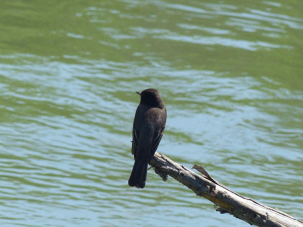 Moucherolle noir Sayornis nigricans - Black Phoebe
