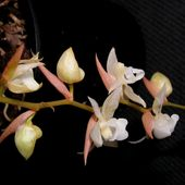Labelorchidée: Pholidota chinensis -           Orchidium-Vaunage                  Daphnie