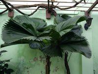 Le palmier royal, symbole de Cuba; cosses de cacao sur pied;agriculture écologique; plante grasse d'agrément;famille des fougères