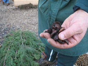 un beau compost issu du jardin de Robert ; des coquilles de noix en cours de décomposition ; un échantillon de différents paillis possibles