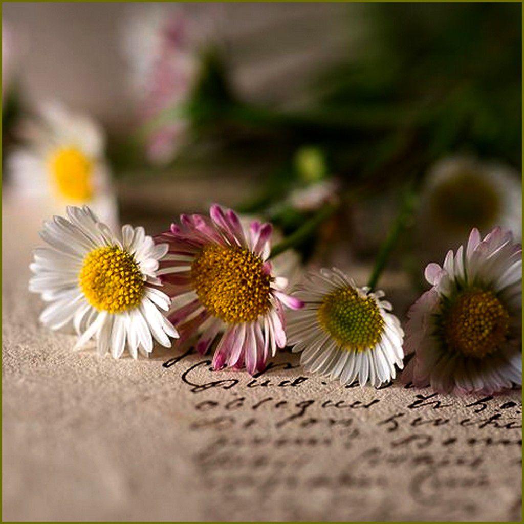 Mythologie des fleurs - la pâquerette (petite marguerite) Bellis perennis