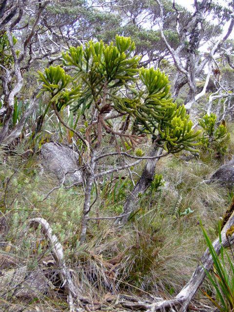 Min, botaniste fanatique, revient tout juste d'une expédition d'herborisation de 10 jours dans le sultanat Malaisien de Sabah au nord de Bornéo. Elle a escaladé le Mont Kinabalu armée de mon modeste Panasonic FX3 et de plein de pochettes en papie