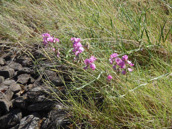 Les fleurs printanières ornent les talus de leurs jolies couleurs.....