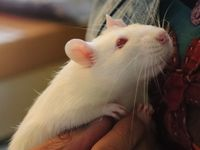 Nos 6 ratous mâles Wistar , âgés de 6 à 8 mois, à l'adoption- Refuge partenaire du GRAAL