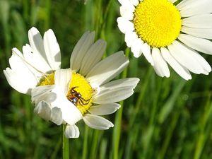 On trouve cette petite araignée sur de nombreuses fleurs, mais elle est également très souvent sur des ombellifères… Photos : JLS (Cliquez pour agrandir)