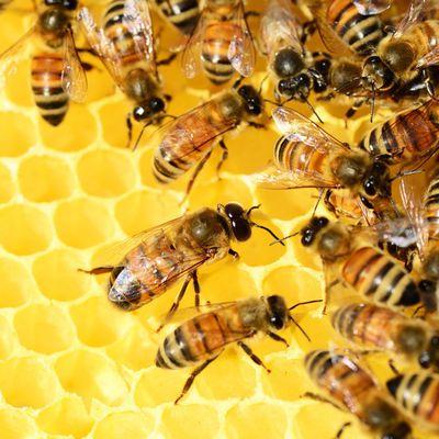 Y a t-il des abeilles qui ne jouent pas collectif?