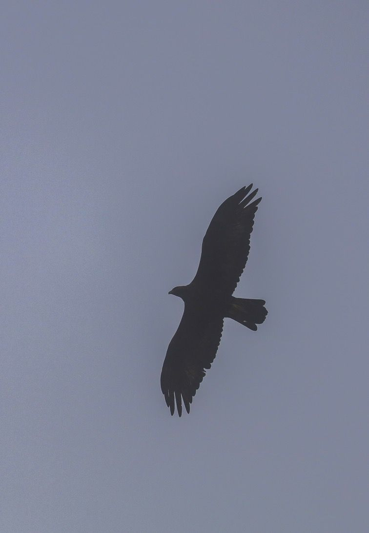 Aigle royal (et brouillard)