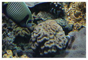 perciformes : pomacanthidés