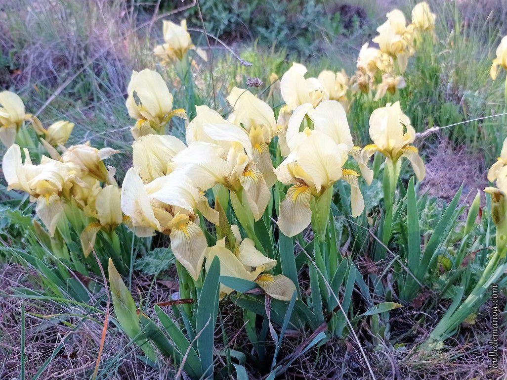 Iris nains jaunes