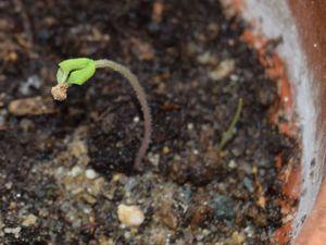 Compost non stérile, pots de rémploi et arrosage par le haut sont souvent déconseillés car favorisant la fonte du semis.