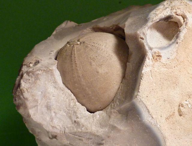 Anorthopygus orbicularis