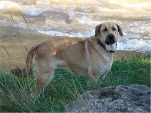 Mastin ou Mâtin espagnol un chien équilibré, robuste et bon gardien