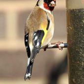 Le nombre d'oiseaux communs diminue dangereusement