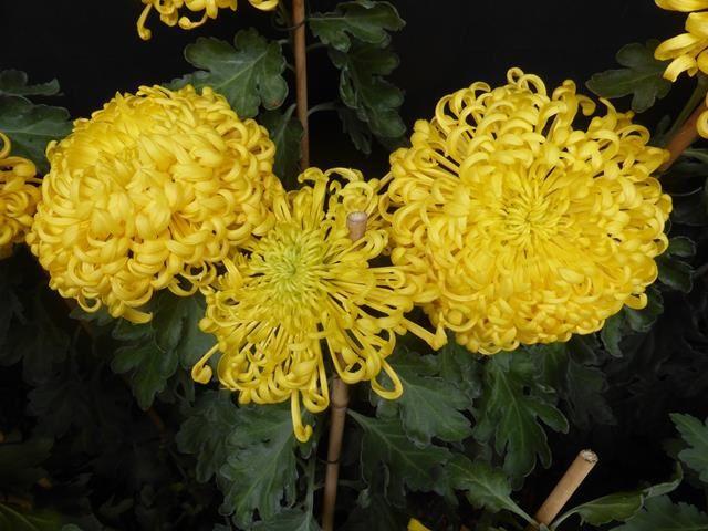Fête des chrysanthèmes à Lahr