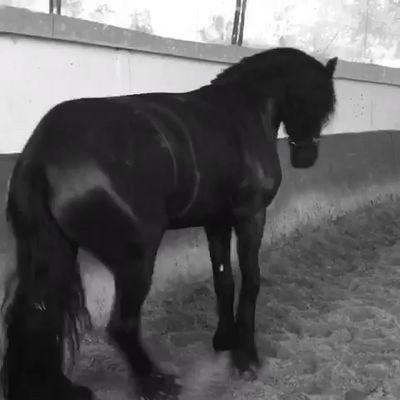 Petit cheval danse la samba