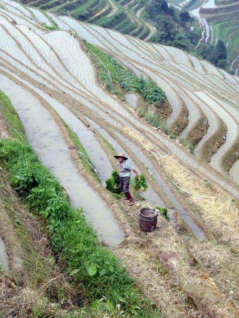 les rizieres en terrasse, les pics karstiques de Guilin... mais en automne, cette province est aussi très colorée par les rizières qui jaunissent...