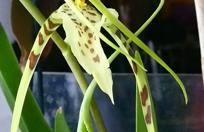 Eflorescence 2019 Brassia Edvah Loo Veracruz