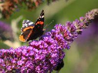 Hôtel à insectes  ---> Coccinelle --->  Buddleia (arbre à papillons)