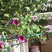 Les roses thrémières de Denise , La Mure Argens