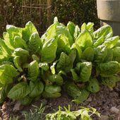 Légumes vivaces : n'oublions plus l'oseille - Au jardin des Quatre Moineaux