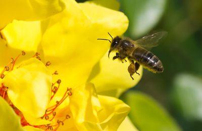 Abeilles en danger : des pesticides enfin reconnus nocifs !