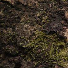 Voyage en forêts des pluies # 12 : Le mimétisme