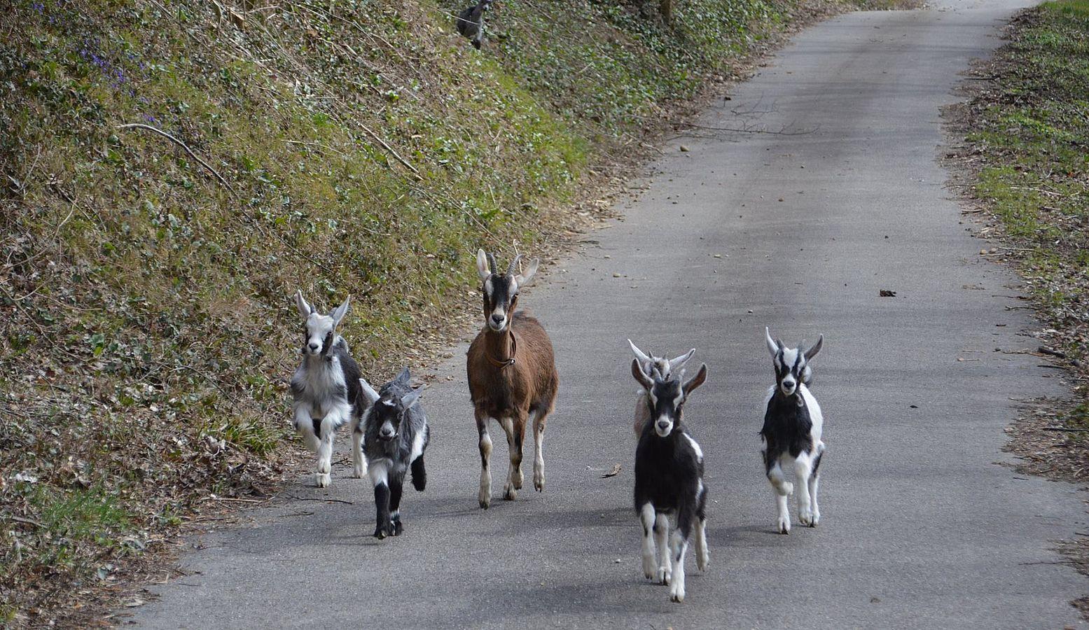 Longue vie à la chèvre du Massif Centrale © La chèvre Pastorale