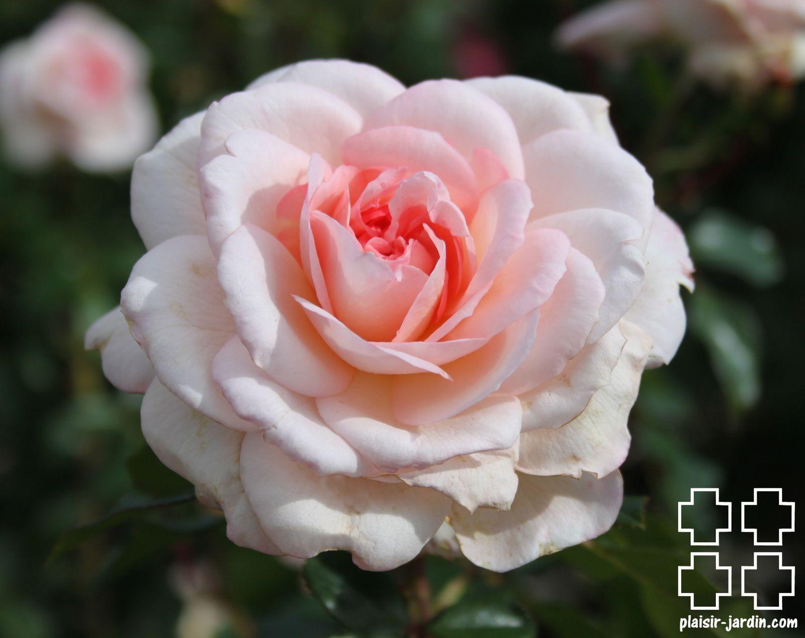 Les rosiers en B. de Br. à Bz.