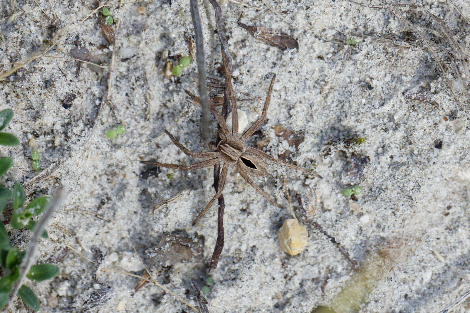 Thanacus formicinus