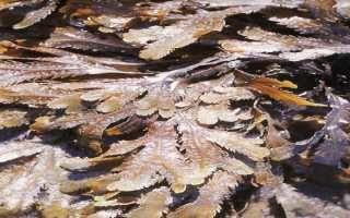 cueillette de vacances : les algues