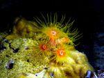 Voyage-plongée: Anémones de mer et Synascidies Didemnum