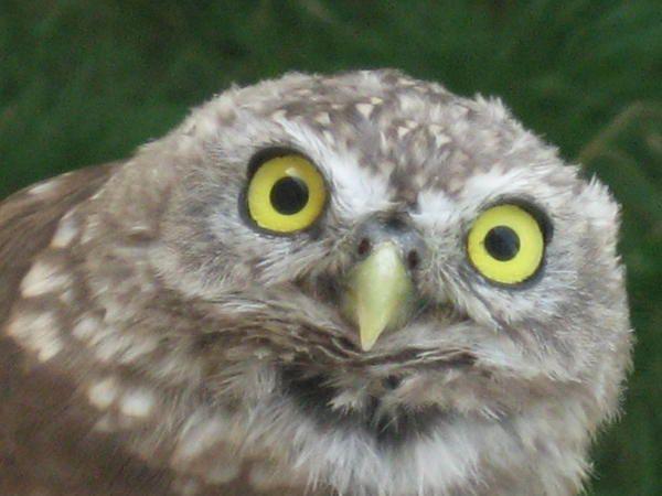 Chouette est un nom vernaculaire qui désigne des oiseaux de la famille des Strigidae... Emmanuel CRIVAT (2007)