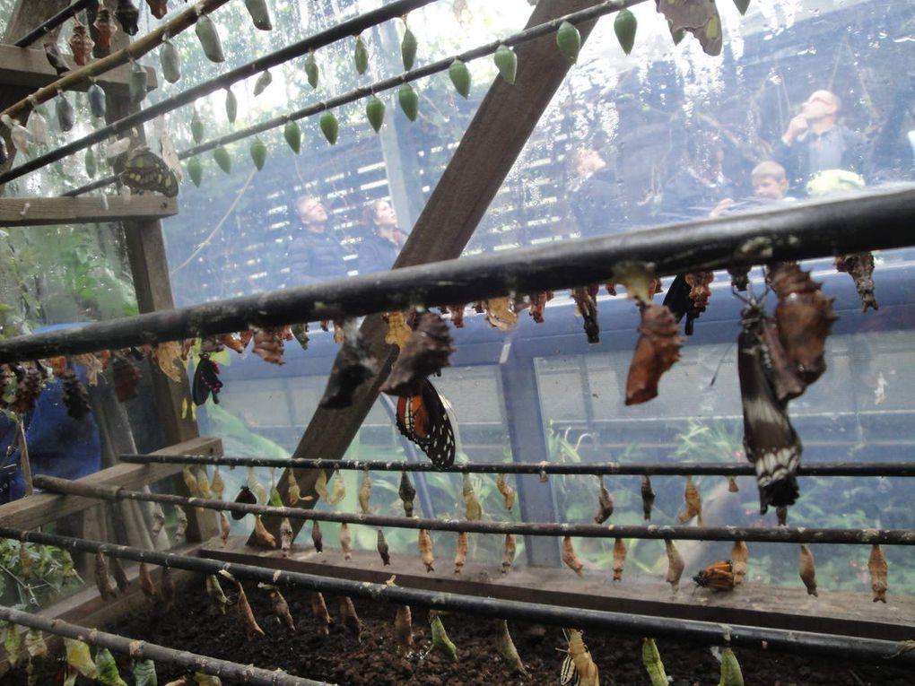 Ils se nourrissent grâce aux plantes de la serre mais ne dédaignent pas les coupelles remplies d'eau et de miel posées çà et là. Les soigneurs disposent des billes d'argile dans les coupelles pour éviter que les papillons ne se noient. Apparemment nous pouvons faire de même dans nos jardins pour attirer ces jolies petites bêtes